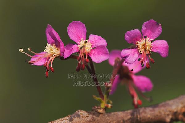 Mexican Buckeye, Ungnadia speciosa, blossoms, Uvalde County, Hill Country, Texas, USA, April 2006