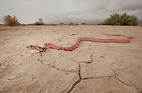 Red Coachwhip - Masticophis flagellum piceus - Coachwhips are America's fastest snakes. In lifestyle and behavior they are similar to the African Black Mamba. Unlike their African counterparts, however, they are completely harmless. But they do have a big attitude and will not hesitate to draw blood. This snake was at the top of my must-see list when I moved to San Diego and it was a thrill to finally see one alive. Because they are large and active during the day, they are often killed crossing roads and before finding this one alive, I had seen more than a dozen that had been killed by careless (or uncaring) motorists. Brake for snakes, people!