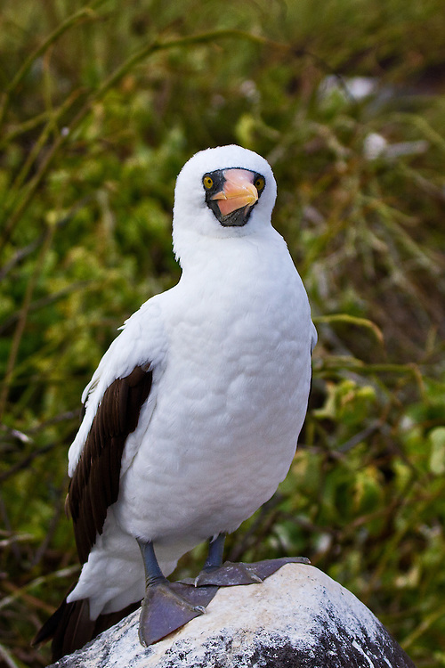 Close up of a Nazca Booby standing on a rock, in two-thirds profile, showing off its puffy white chest, orangish beak and black masked face against a multi-green background.