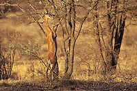 "Gerenuk (Litocranius walleri) standing up to browse folage on thorn tree--can reach 6"" to 6.5 feet by standing on back legs  Samburu National Reserve, Kenya."