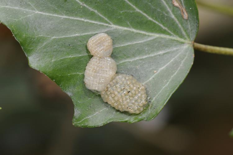 Mottled Sedge eggs - Glyphotaelius pellucidus