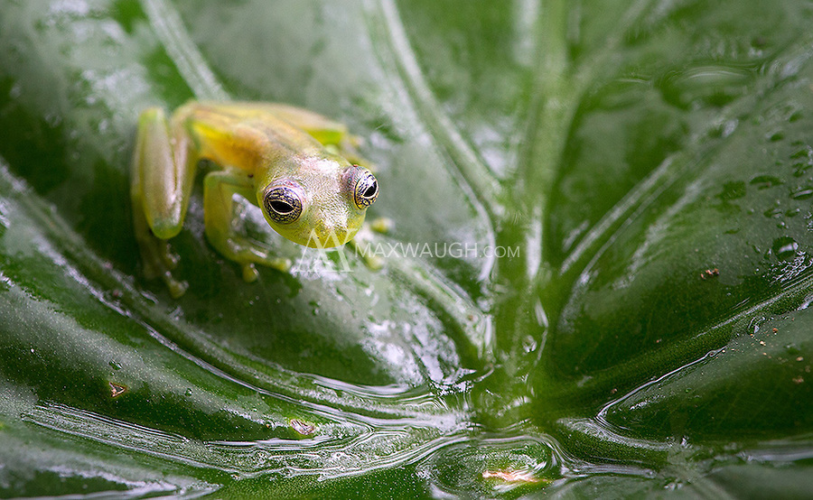 The small glass frog resides on Costa Rica's Caribbean slope.<br /> <br /> If any herp experts have an ID, it would be welcome.
