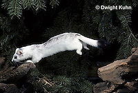 MA07-001x  Short-Tailed Weasel - ermine jumping and leaping late winter after snow melt - Mustela erminea