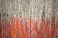 Red twig or Red Osier dogwood shrub (Cornus stolonifera, C. sericea) in front of white bark poplar trees Quaking Aspen (Populus tremuloides)- East Bay Regional Parks Botanic Garden, California native plant