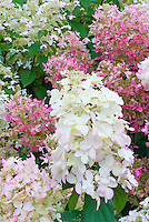 Hydrangea paniculata 'Pink Lady' in flower