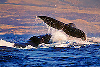 humpback whales, Megaptera novaeangliae, in rowdy heat run, female whale throwing caudal peduncle toward lunging male, Hawaii, USA, Pacific Ocean