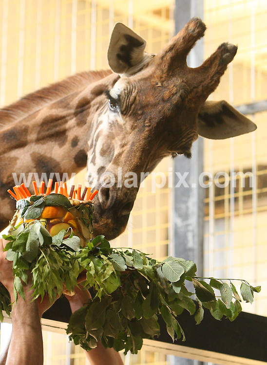 **ALL ROUND PICTURES FROM SOLARPIX.COM**.**NO UK NEWSPAPER PUBLICATION **UK MAGAZINE & SUPPLEMENT PUBLICATION ONLY** AND NO PUBLICATION IN FRANCE, SCANDINAVIA, AUSTRALIA AND GERMANY** .London Zoo's oldest giraffe celebrated her 30th birthday today..Crackers, the giraffe feasted on a treat of frozen birthday cake from the zoo keepers.JOB REF:  6623       SFE       DATE: 12.06.08.**MUST CREDIT SOLARPIX.COM OR DOUBLE FEE WILL BE CHARGED* *UNDER NO CIRCUMSTANCES IS THIS IMAGE TO BE REPRODUCED FOR ANY ONLINE EDITION WITHOUT PRIOR PERMISSION*