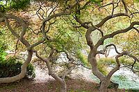 Branch pattern of Japanes maple tree, Acer palmatum, Norfolk Botanical Garden