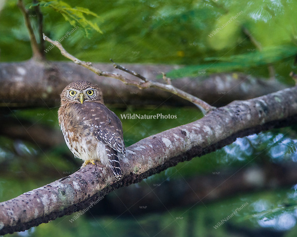 An endemic Cuban Pigmy Owl (Glaucidium siju) perched in a tree. Bermejas, Zapata Peninsula, Cuba.