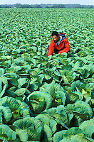 Cabbage Farmer, New Jersey, Agriculture.Released: Derek (no problem).Phil Degginger