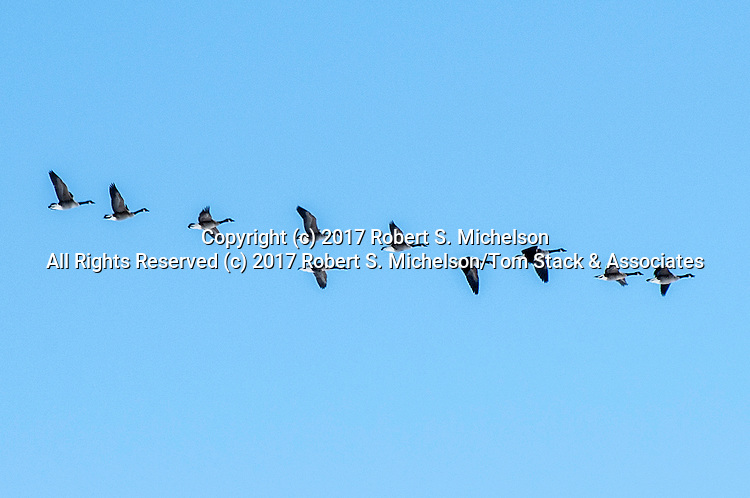 Flock of Canada geese fly over the Monomoy National Wildlife Refuge on Cape Cod.<br /> <br /> Photograph taken under the authority of NMFS MMPA Permit No. 17670, and USFWS Permit No. 53514-17-02.