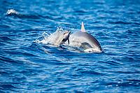Hawaiian spinner dolphin, or Gray's spinner dolphin, Stenella longirostris longirostris, mother and calf, jumping, Big Island, Hawaii, USA, Pacific Ocean