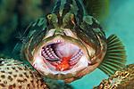 Epinephelus striatus, Nassau grouper, Roatan