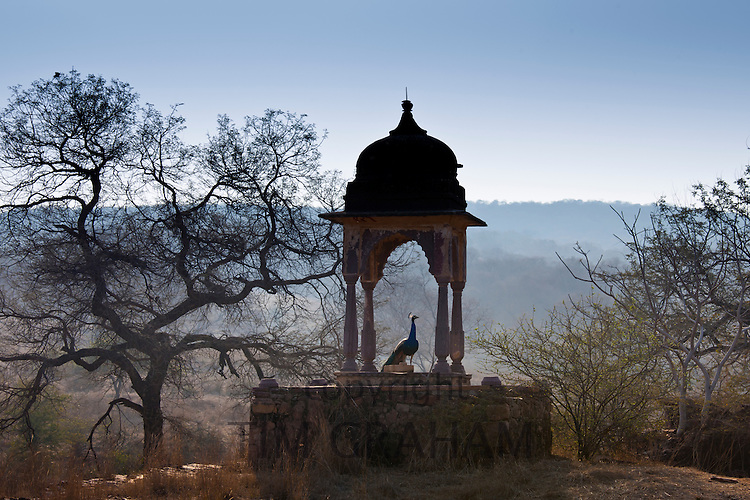 Peacock, national bird of India, in dome structure Choti Chattri in Ranthambhore National Park, Rajasthan, Northern India RESERVED USE - NOT FOR DOWNLOAD -  FOR USE CONTACT TIM GRAHAM