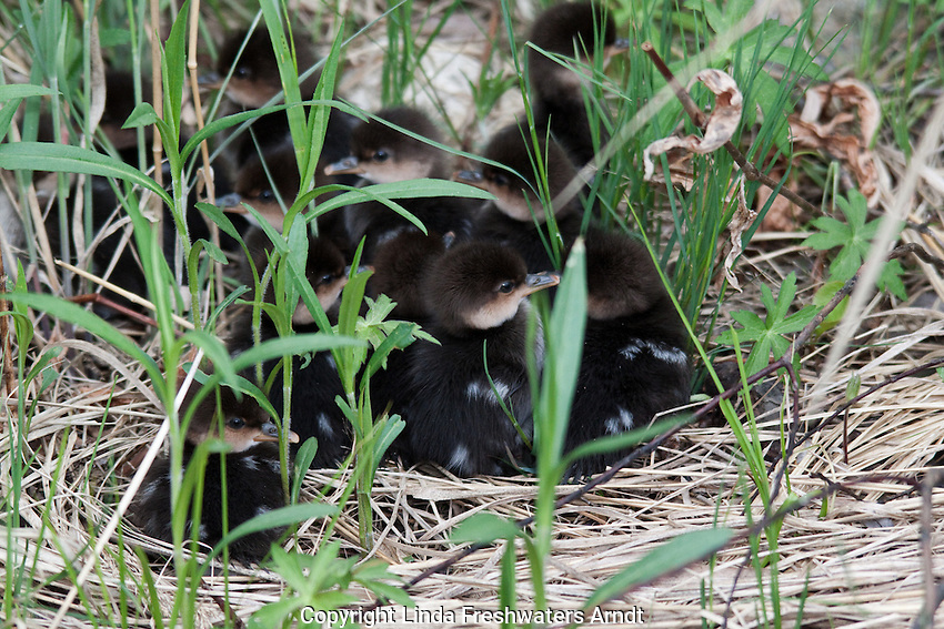 Common Merganser - Ducklings
