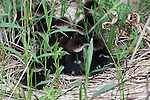 Hooded Merganser - Ducklings