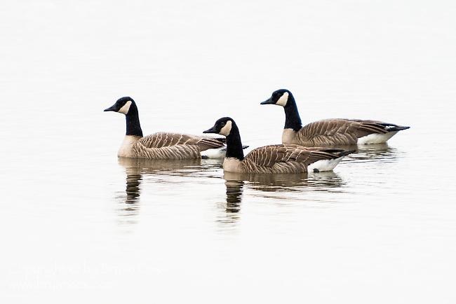 Canada Geese, Fern Hill Wetlands, Oregon