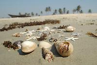 Goa / Indien..Benaulim Beach, Seesterne viele arten Muscheln und kleine Krebse finden sich immer zahlreich an den Stränden des Arabischen Meeres.