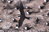 Sooty Tern - Onychoprion fuscatus