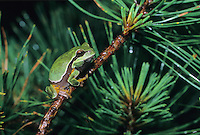 Pine Barrens Tree Frog, Pinelands National Reserve, Pine Barrens, New Jersey