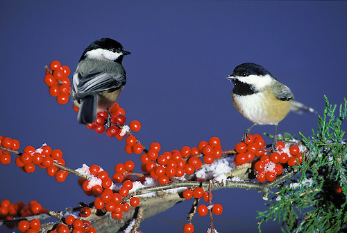 Male and female chickadees, Parus atricapillus,  on a branch of holly berries in the snow