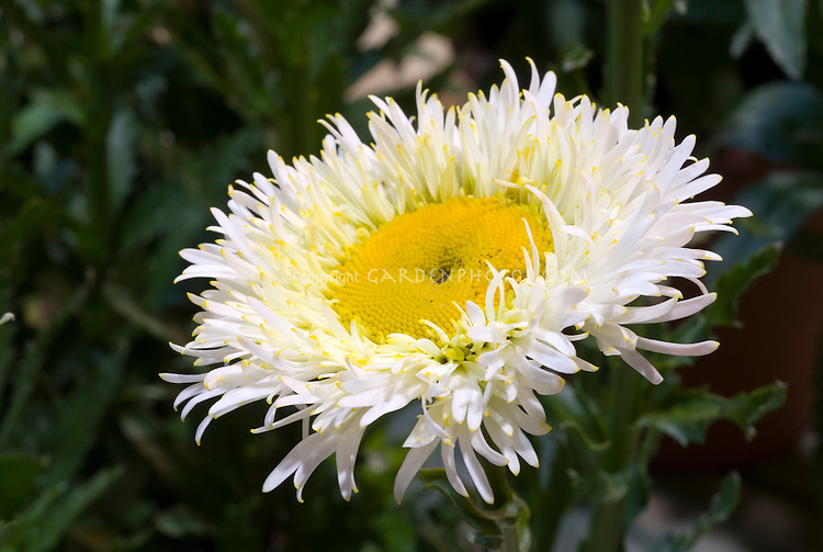 Leucanthemum real galaxy white flowers with yellow centre plant leucanthemum real galaxy fluffy daisies white with yellow center mightylinksfo