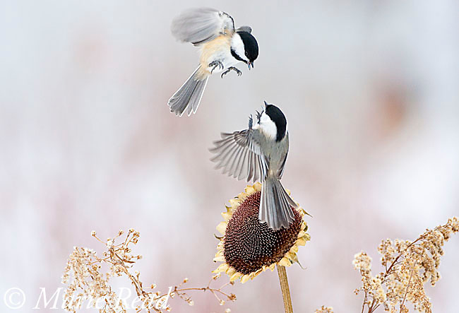 Black-capped Chickadees (Poecile atricapilla) two fighting at a sunflower in winter, New York, USA