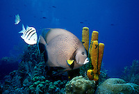 MARINE LIFE: REEFS<br /> Fish passing in front of sponge formation<br /> Large fish is a French angel fish, smaller fish are sergeant majors.