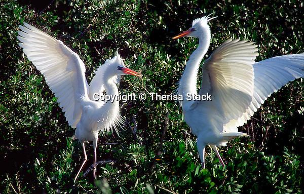 Great herons, Everglades National Park