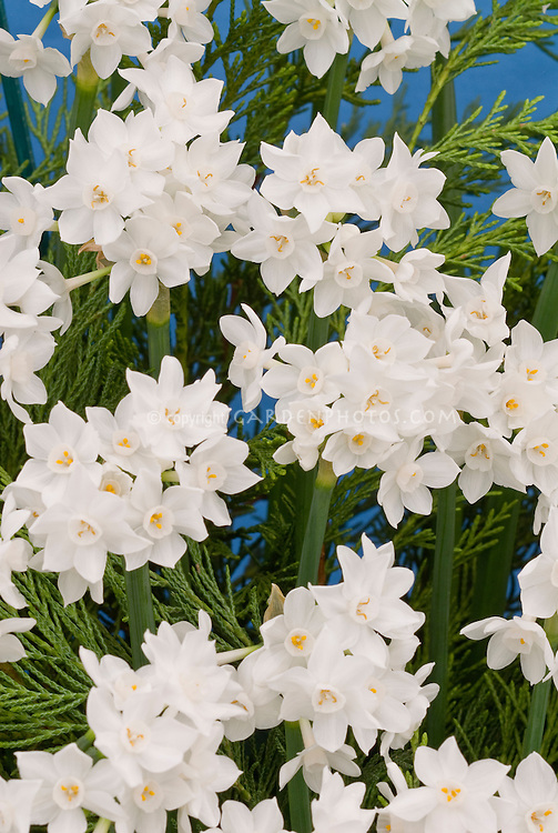 Narcissus 'Paperwhite' = N. papyraceus daffodil paperwhites bulbs Division 13 in spring flower
