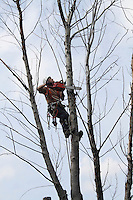 Arborist in Harness in Tree Cutting Limbs with Chain Saw