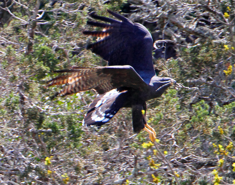 Zone-tailed hawk carrying materials to nest