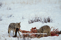 01864-01920 Coyotes (Canis latrans) in winter, eating elk carcass Yellowstone NP   WY