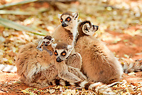 Ring-tailed Lemurs (Lemur catta), troop of females with young, Berenty Reservat, Madagascar, Africa