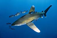 oceanic whitetip shark, Carcharhinus longimanus, with pilot fish, Naucrates ductor, Egypt, Red Sea, Indian Ocean