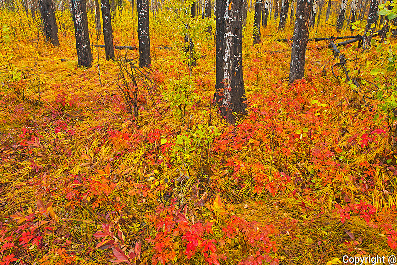 Fall colors in the understory of an aspen forest. Sawback Range in the Bow Valley.<br />