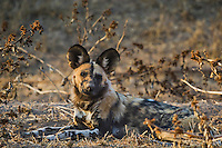 African wild dog lying down.