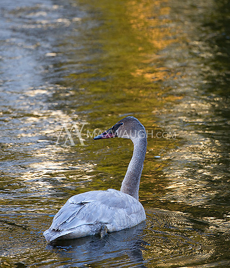 A juvenile trumpeter swan swims in the Madison River.