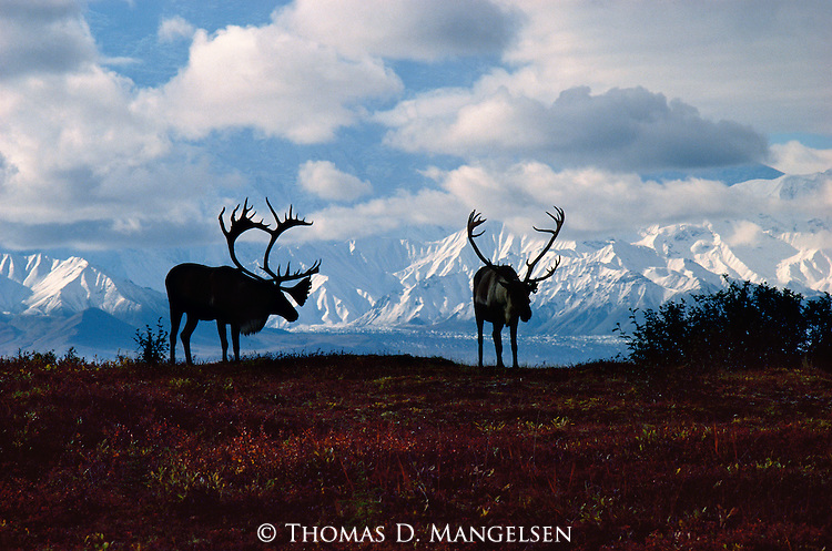 The Mythic Wanderers Caribou Print 2806 Mangelsen Images Of