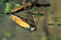 Gemeiner Rückenschwimmer, Rückenschwimmer, Notonecta glauca, common backswimmer, backswimmer, notonectid, notonectids, La Notonecte glauque