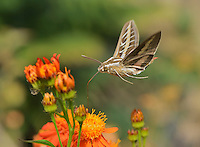 White-lined sphinx (Hyles lineata), adult in flight feeding on Mexican flame vine (Senecio confusus) flower, Hill Country, Texas, USA
