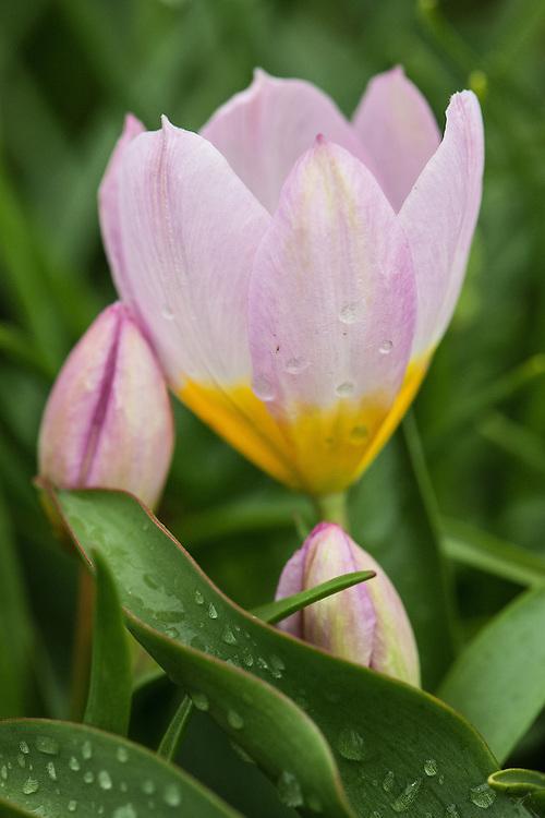 Tulipa saxatilis (Bakeri Group) 'Lilac Wonder'. Sometimes known simply as Tulipa bakeri 'Lilac Wonder' or Candia tulip 'Lilac Wonder'. A hybrid raised in 1926 from Tulipa saxatalis, native to Rhodes, Crete and areas of SW Turkey.