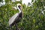 A Brown Pelican, Pelecanus occidentalis, perched in a mangrove tree in the Ria Lagartos Biosphere Reserve, a UNESCO World Biosphere Reserve in Yucatan, Mexico.