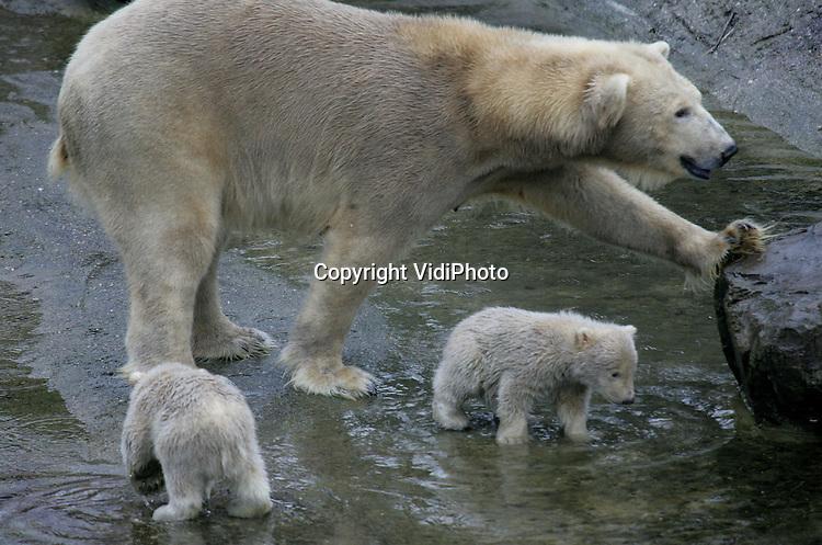 Foto: VidiPhoto..RHENEN - Een unicum in de dierentuinwereld. Vrijdag presenteerde moeder Huggies uit Ouwehands Dierenpark in Rhenen haar drie jonkies aan pers en het publiek. De jonge ijsbeertjes zijn eind november 2005 geboren en hebben al .die tijd binnengezeten. Het is nog niet eerder voorgekomen dat een ijsbeer in gevangenschap drie jongen grootbracht.