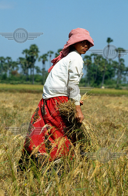 Young woman harvesting rice.