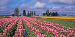 Skagit County, WA               <br /> Rows of pink tulips with distant farm buildings under spring skies
