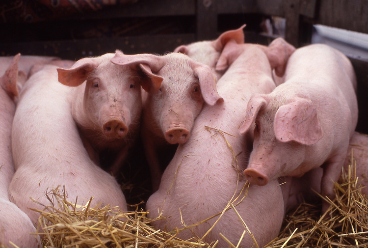 Europe, DEU, Germany, Northrhine Westphalia, Lower Rhine, Five young Pigs....[ For each utilisation of my images my General Terms and Conditions are mandatory. Usage only against use message and proof. Download of my General Terms and Conditions under http://www.image-box.com or ask for sending. A clearance before usage is necessary...Material is subject to royalties. Each utilisation of my images is subject to a fee in accordance to the present valid MFM-List...Contact | archive@image-box.com | www.image-box.com ]