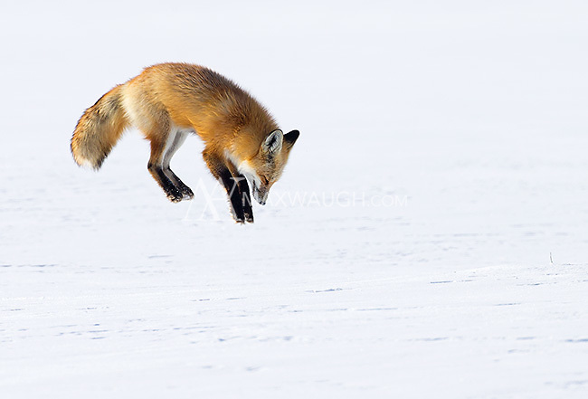 "Red foxes leap high into the air while ""mousing.""  This was only a half-hearted leap, as this female did not achieve major air and try to bury herself in the snow.  Nonetheless, it was great to photograph the act in a clean setting with no distractions."