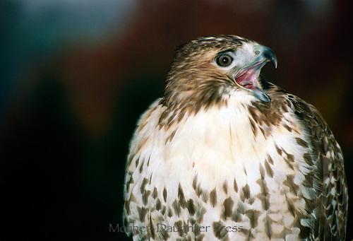 Red tailed hawk calling, fall, Missouri USA