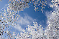 Ice encrusted tree tops with blue sky background